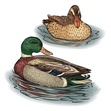 Duck Male And Female Swim In The Pond In The Water Yu Birds, Mallards, Farm Animals. Vector Illustration.