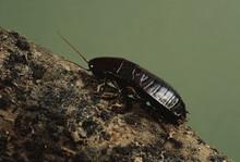 Oriental Cockroach (Blattidae)