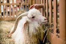 Angora Goat In The Hay
