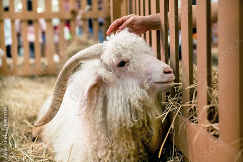 angora goat in the hay Wallpaper Mural