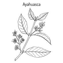Ayahuasca Banisteriopsis Caapi...