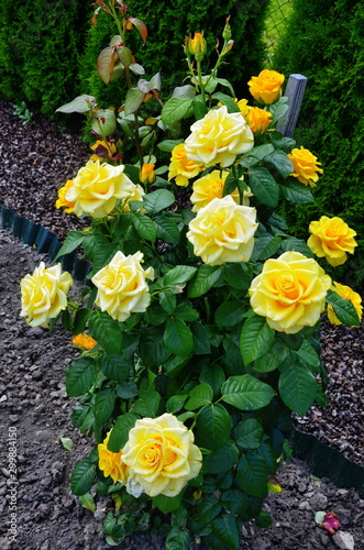 Fototapeta  beautiful flowers of teahouse roses in a garden bed