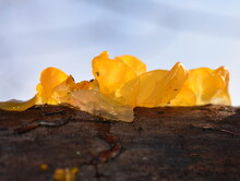 The Golden Jelly Fungus Tremella Mesenterica Growing On A Log
