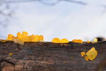 The Golden Jelly Fungus Tremel...