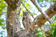 Great Horned Owl With Perfect ...