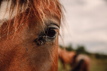 Brown Horse Eye With Flies On ...
