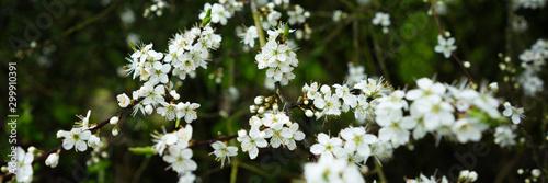 Photo  Blüten an einen Ast