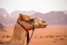 Camels In The Desert Of Wadi Rum Jordan