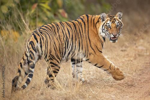 Vászonkép Bengal tiger is a Panthera tigris tigris population native to the Indian subcontinent