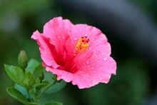 Pink Shoe Flower Or Hibiscus O...