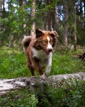 Mini American Shepherd Jumping Over Log