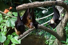 Fruit Bats Hanging Upside Down From Tree Branches, Sleeping During The Day