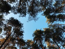 Pine Treet Look From Above. Sky And Hear Shape. Copy Space