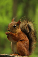 Brightly Red-haired Squirrel N...