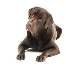 Broun Labrador Dog Isolated On White