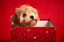 Little Cute Puppy Sits In A Gift Box On Red Background