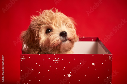 Stampa su Tela little cute puppy sits in a gift box on red background