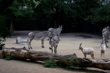 Herd Of Zebras And Goats In Zoo Enclosure