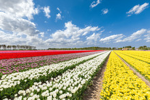 Yellow, White, Violet And Red Tulips In A Multicolor Tulips Field (Lisse, South Holland, Netherlands)