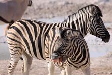 Zebra Braying