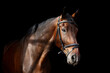 Brown horse portrait on black background