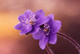 Fototapeta Kwiaty - Przylaszczki - wiosenne kwiaty
