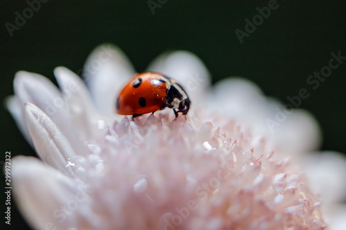 Ladybug on green moss with dandelion