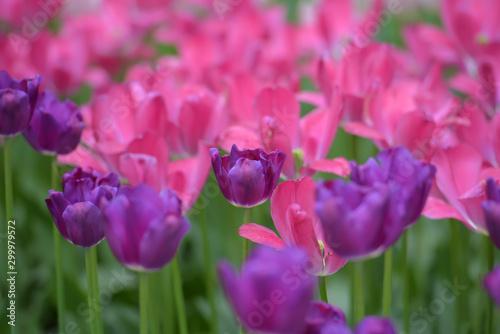 Montage in der Fensternische Rosa Purple and pink tulips