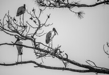 Wood Storks Roosted In Tree