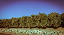Green Citrus Fruit Trees Plantation Lined Up Ojai California