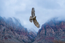 Red-Tailed Hawk (Buteo Jamaicensis) In Flight Over Fog-Shrouded Mountains