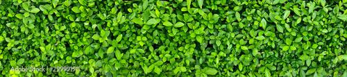 Fototapeta Green Leaves background paronama view. obraz