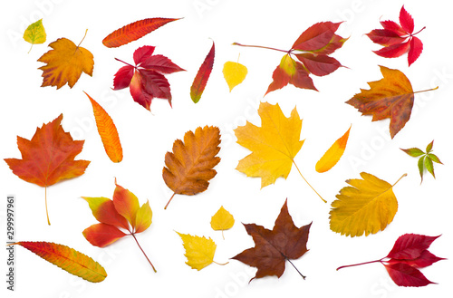 Fototapety, obrazy: collection beautiful colorful autumn leaves isolated on white background