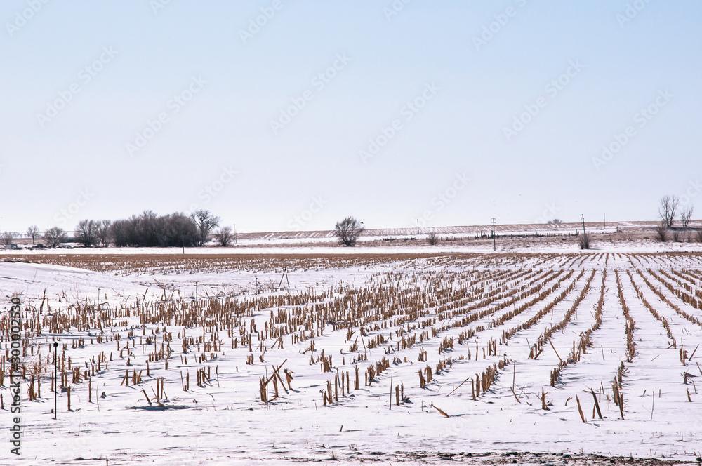 Fototapeta Winter snow covers a field of corn stubble after harvest