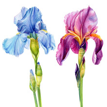 Watercolor Flowers, Iris On A ...