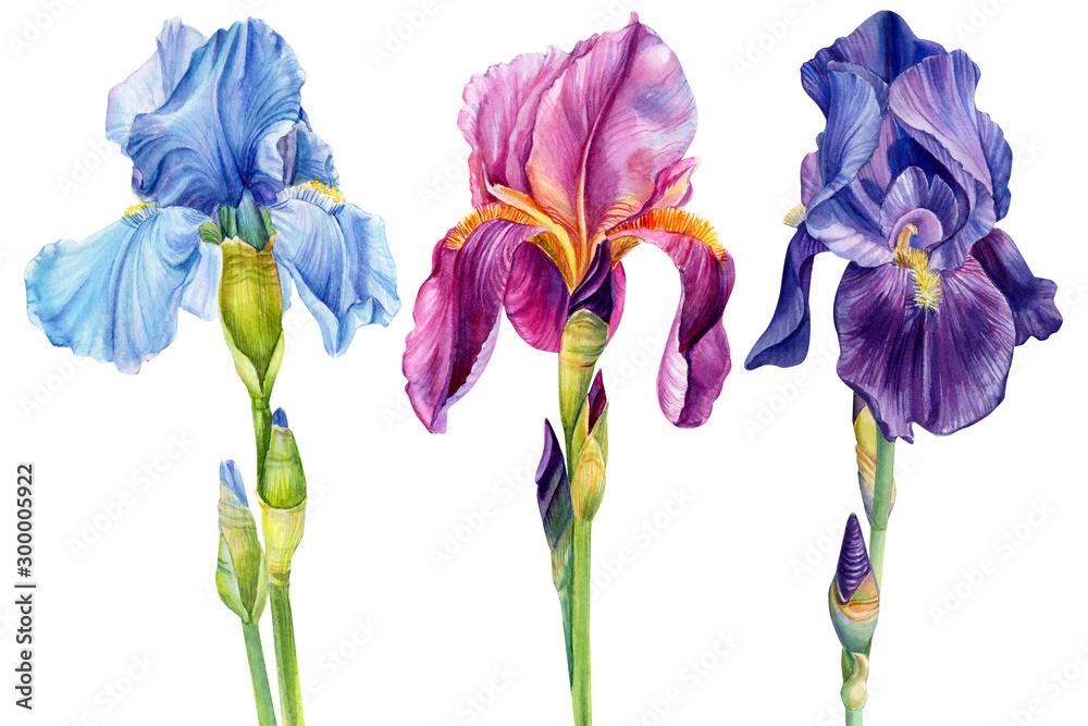 Fototapeta watercolor flowers, iris on a white background, beautiful plants, floral design, botanical illustration