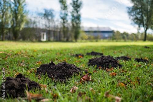 Obraz na plátně Damaged green lawn by a mole on autumn sunny day