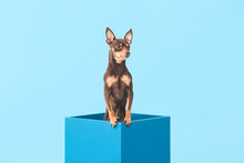 Cute Toy Terrier Dog In Box On...