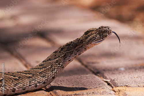 Photo Baby puff adder on the ground crossing pavements