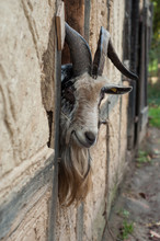 Portrait Of Bearded Goat With Long Horns Passing The Head Through A Window Of A Medieval Farm