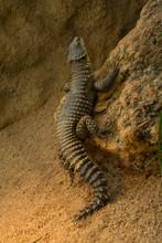 Sungazer, Giant Girdled Lizard Or Giant Dragon Lizard Or Giant Zonure (Smaug Giganteus, Syn. Cordylus Giganteus).