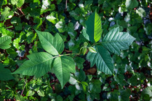 Poison Ivy Plant Growing Out O...
