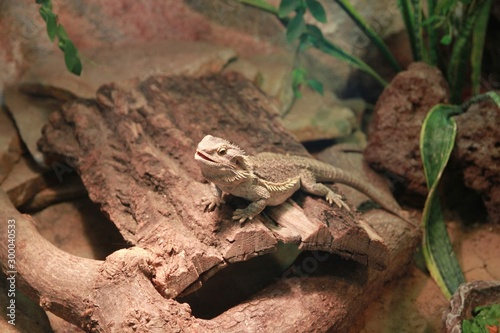 Poster Chameleon Gad w zoo jaszczurka