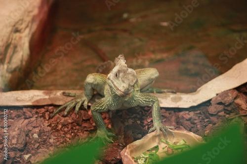 Poster Chamaleon Kameleon w zoo