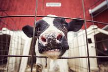 Curious Dairy Cow Calf In A Pe...