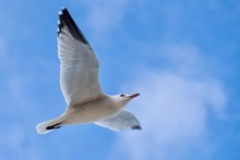 Seagull Caught Flying Near Cam...