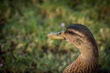 Portrait Of A Mallard Duck
