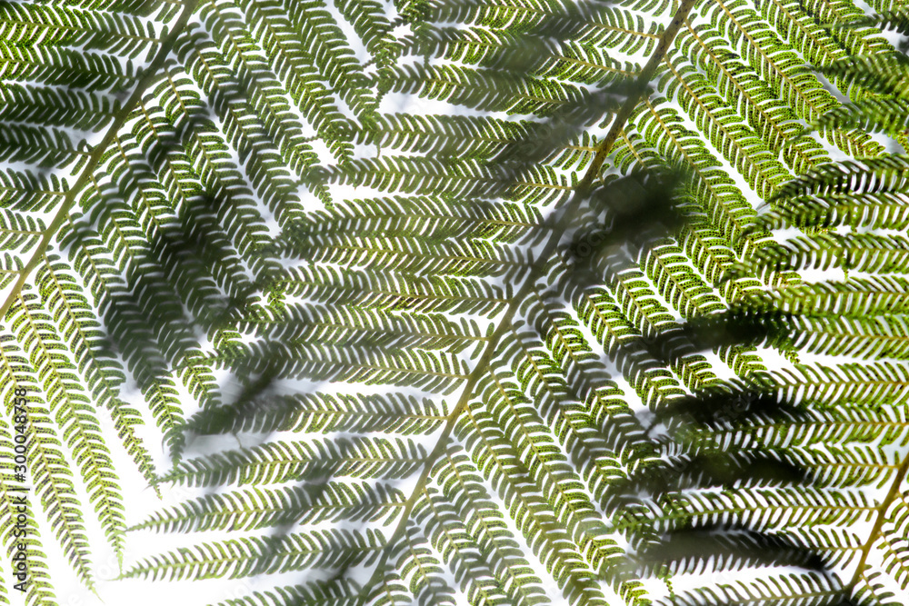 Fototapety, obrazy: Tree ferns (cyathea lepifera) from below