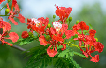 Royal Poinciana's Red Flower Blooming On The Tree(Delonix Regia)