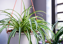 Spider Plant In White Pot At B...